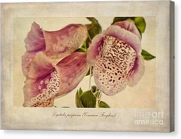 Foxglove Textures Canvas Print by John Edwards