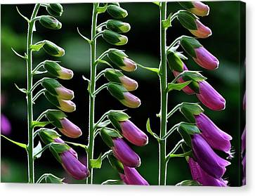 Foxgloves (digitalis Purpurea) In Flower Canvas Print by Colin Varndell