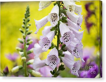 Foxgloves Canvas Print by Tim Gainey
