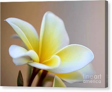 Fragrant Frangipani Flower Canvas Print by Sabrina L Ryan