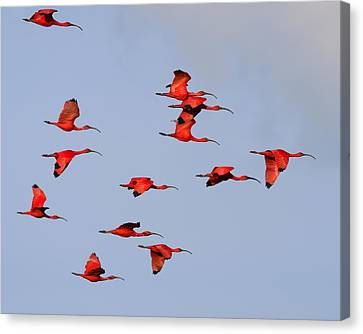 Frankly Scarlet Canvas Print by Tony Beck
