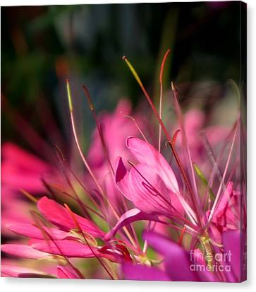 Free Spirit Cleome Canvas Print by France Laliberte