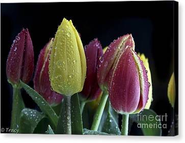 Fresh As A Tulip Canvas Print by Tracy  Hall