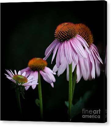 Fresh Echinacea Canvas Print by Renee Barnes
