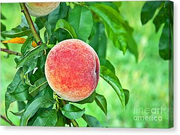 Fresh Ripe Peach On Tree Art Prints Canvas Print by Valerie Garner