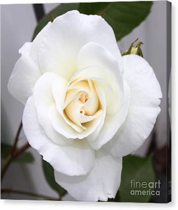 Fresh White Rosebud Canvas Print by French Toast