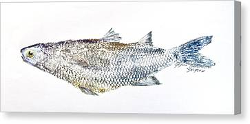 Freshwater Jumping Mullet Canvas Print by Nancy Gorr