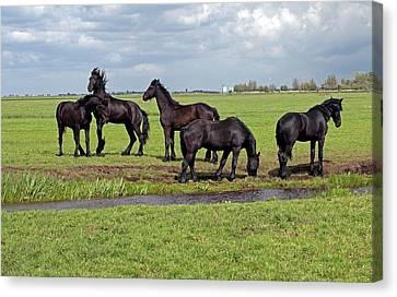 Friesian Horses Canvas Print by Dirk Wiersma
