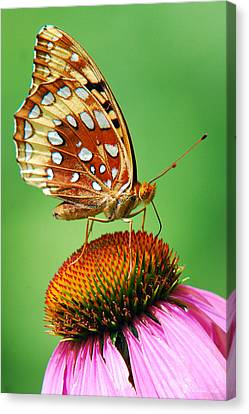 Fritillary Butterfly Canvas Print by Christina Rollo