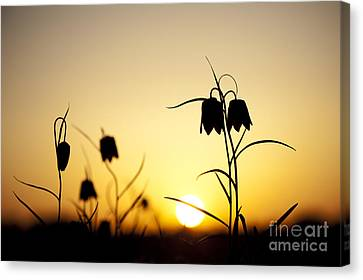 Fritillary Flower Sunset Canvas Print by Tim Gainey