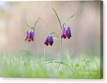 Fritillary Morning Canvas Print by Tim Gainey