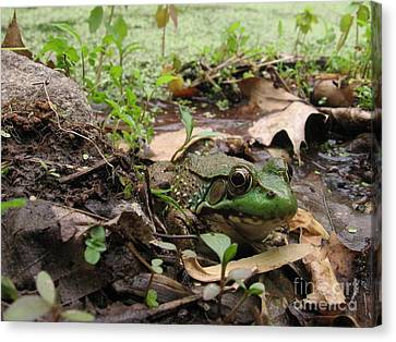 Frog In Swamp At Bowman's Hill Canvas Print by Anna Lisa Yoder