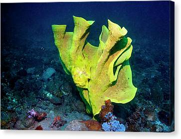 Frogfish Camouflaged On Sponge Canvas Print by Georgette Douwma