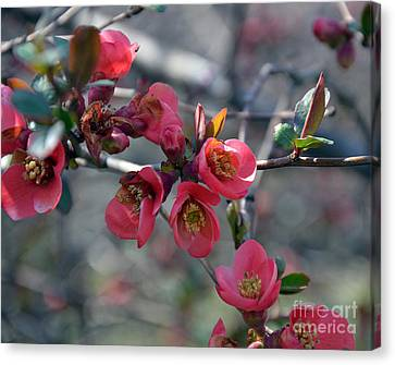 From Quince I Came Canvas Print by Brenda Dorman
