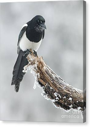 Frosted Magpie Canvas Print by Tim Grams