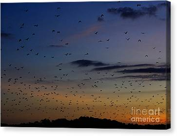 Fruit Bats, Indonesia Canvas Print by Manfred Bail