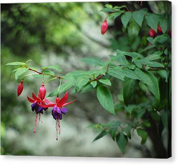 Fuchsia Floral Beauty At Its Best. Canvas Print by Dave Byrne