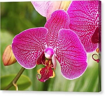 Fuchsia Moth Orchid Canvas Print by Rona Black