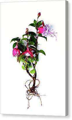 Fuchsia Plant Canvas Print by Ian Gowland