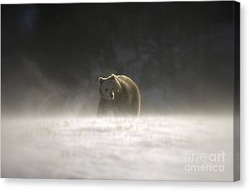 Blizzard Bear Canvas Print by Wildlife Fine Art