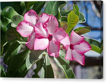 Fushia Oleander Near Phoenx Arizona 2 Canvas Print by Douglas Barnett