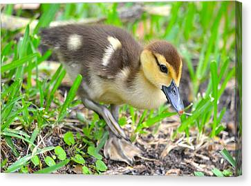 Fuzzy Little Duckling Canvas Print by Richard Bryce and Family
