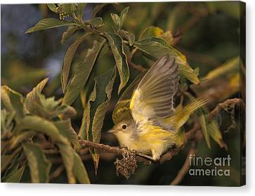 Galapagos Flycatcher Canvas Print by Ron Sanford