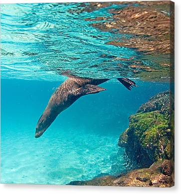 Galapagos Sea Lion Zalophus Wollebaeki Canvas Print by Panoramic Images