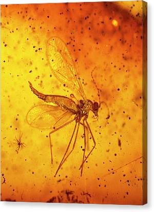 Gall Midge In Baltic Amber Canvas Print by Natural History Museum, London