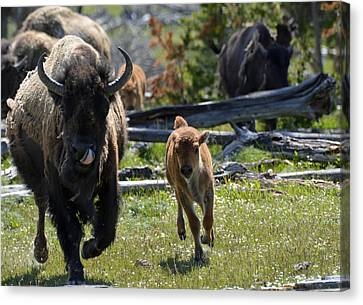 Gallopin Bison Mom And Calf Canvas Print by Bruce Gourley