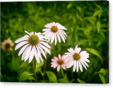 Garden Dasies Canvas Print by Tom Mc Nemar