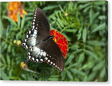Garden Spice Butterfly Canvas Print by Christina Rollo