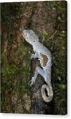 Gecko Shedding Skin Canvas Print by Scubazoo