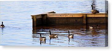 Geese Swimming Canvas Print by Carolyn Ricks