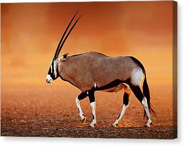 Gemsbok On Desert Plains At Sunset Canvas Print by Johan Swanepoel