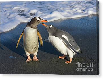 Gentoo Penguin Chick Begging For Food Canvas Print by Yva Momatiuk and John Eastcott