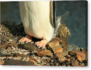 Gentoo Penguin Feet Canvas Print by Amanda Stadther