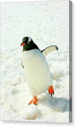 Gentoo Penguin Running Canvas Print by Amanda Stadther