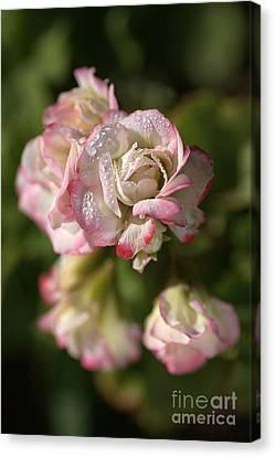 Geranium Flowers Canvas Print by Joy Watson
