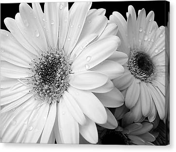 Gerber Daisies In Black And White Canvas Print by Jennie Marie Schell
