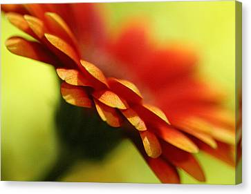 Gerbera Daisy Flower II Canvas Print by Natalie Kinnear