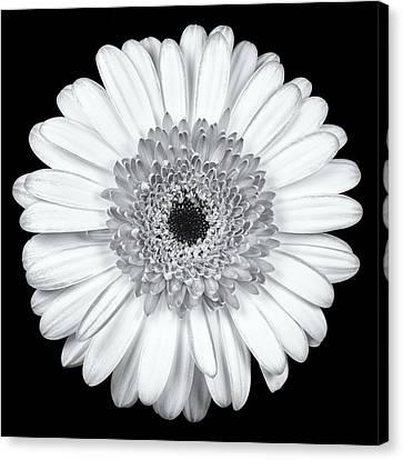 Gerbera Daisy Monochrome Canvas Print by Adam Romanowicz