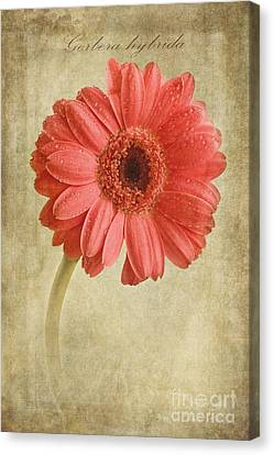 Gerbera Hybrida With Textures Canvas Print by John Edwards