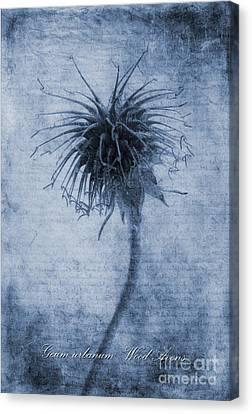 Geum Urbanum Cyanotype Canvas Print by John Edwards