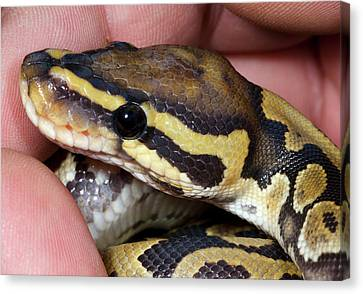 Ghost Royal Python Or Ball Python Canvas Print by Nigel Downer