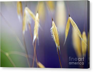 Giant Feather Grasses  Canvas Print by Tim Gainey