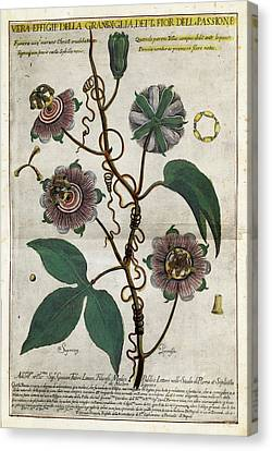 Giant Granadilla Flowers Canvas Print by Natural History Museum, London