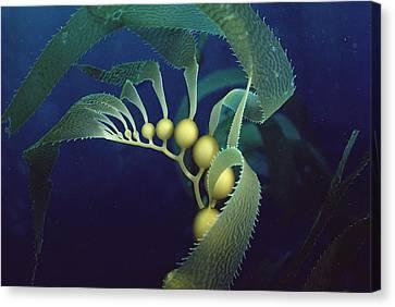 Giant Kelp Macrocystis Pyrifera Detail Canvas Print by Flip Nicklin