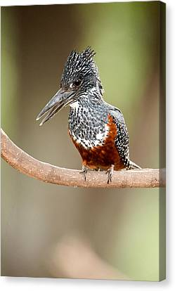 Giant Kingfisher Megaceryle Maxima Canvas Print by Panoramic Images