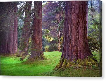 Giant Sequoias II. Benmore Botanical Garden. Scotland Canvas Print by Jenny Rainbow